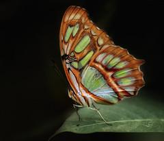Malachite Butterfly. ( Siproeta stelenes ) (dbullens) Tags: nature butterfly yahoo google dof massachusetts deerfield bing onblack magicwings southdeerfield malachitebutterfly donbullens friendlychallenges thechallengefactory mygearandme mygearandmepremium allofnatureswildlifelevel1 allofnatureswildlifelevel2 allofnatureswildlifelevel3 infinitexposure