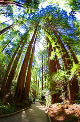 California Muir Woods 38 (paspog) Tags: sanfrancisco california usa forest woods unitedstatesofamerica muirwoods redwood fort