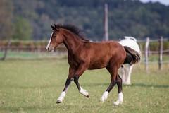 (Markus Hill) Tags: horse canon jasper pferd colt 2012 foal fohlen