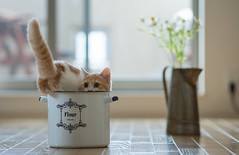 Cat in the Flour Bowl (torode) Tags: pet flower japan cat tin tokyo kitten hannah daisy flour  2012 primrose