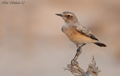 -   -  () Tags: winter male first pied wheatear