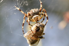 Yum Yum, Garden Spider - Araneus diadematus, Garden Warwickshire {Explore - 03/10/2012 - #29} (Andy_Hartley) Tags: mygearandme flickrstruereflectionlevel1 rememberthatmomentlevel1 rememberthatmomentlevel2