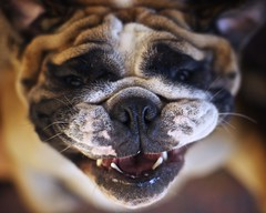 Smile! [Explored - Front Page] (AB 7) Tags: dog smile face funny down bulldog upside