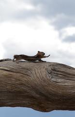 Bryce Canyon, Stretching (Gheysen86) Tags: park usa nature animal utah roadtrip canyon chipmunk national bryce states unitde