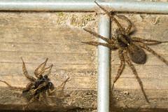 ~Dances With Wolves~ Arachtober 4th (2012) ~ Explored ~ ((James Clay) Boom-Stick) Tags: macro geotagged spider unitedkingdom wildlife gb mating arachnids geota