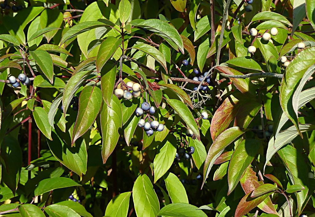 20121003_UBCBG_CornusAmomumSspObliqua_Cu by wlcutler, on Flickr