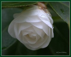 white beauty (loobyloo55) Tags: white flower nature canon flora floraandfauna