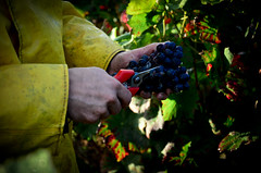 Burgundy Grape Harvest 2012 (The Hungry Cyclist) Tags: food out cycling holidays burgundy more about find wwwhungrycyclistcom harvest12 wwwdrouhinlarozecom