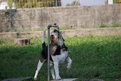 Gauss drinking (Andrea and Gauss) Tags: park dog beagle water drinking gauss