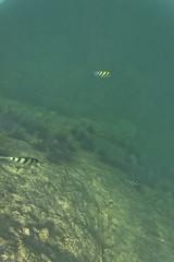 DSC09197 (andrewlorenzlong) Tags: fish coral thailand snorkeling kohchang kohrang kohrangyai korangyai