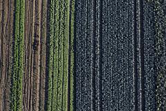 Vegetarian Food (Aerial Photography) Tags: blue verde green field lines by la landwirtschaft feld aerial rows grün blau agriculture deu gemüse streifen luftbild landshut luftaufnahme linien blaukraut bayernbavaria deutschlandgermany reihen salatfeld ndb ackerbau parallelen fotoklausleidorfwwwleidorfde stadtteil03wolfgang 05102012 5d324110 hascherkeller klosterholzweg