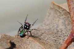 Maratus volans (beeater) Tags: spider jumpingspider salticidae spidermacro maratus spiderphotography spidersofaustralia maratusvolans stuartharrisphotography australiansalticidae nswsalticidae spidersofnsw