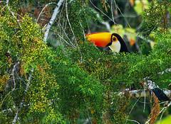 Tucano (profcarlos) Tags: brazil minasgerais bird brasil pinetree toucan minas passarinho pssaro mg bec oiseau brsil bico tucano pinheiro suldeminas quintasotoms