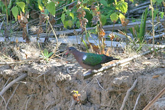 Common Emerald Dove(Chalcophaps indica) (sussexbirder) Tags: common emerald indica dovechalcophaps