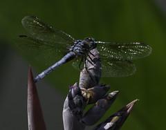 DragonFly_SAF9708 (sara97) Tags: copyright2016saraannefinke dragonfly flyinginsect insect missouri mosquitohawk nature odonata outdoors photobysaraannefinke predator saintlouis towergrovepark urbanpark