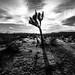 Joshua tree - Joshua tree national park, United States - Black and white photography