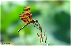 Halloween Pennant (Suzanham) Tags: dragonfly female spots macro nature bug wings flying halloweenpennant odonata