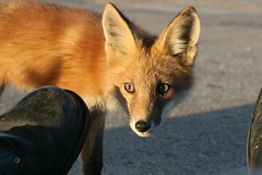 Close Encounters Of The Fox Kind (marylee.agnew) Tags: red fox kit curious encounter homeless city urban nature parking lot wildlife canine human