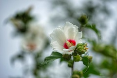 Roses of Sharon (JPShen) Tags: rose hibiscus pure white dancing roas sharon bokeh light