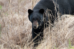 Here I come (Maja's Photography) Tags: bc blackbear bears nature naturephotography animals amazing canon canada wildlife wilderness walking grass