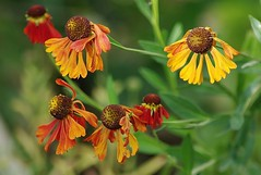 Helenium (mamietherese1) Tags: phvalue fleursetpaysages alittlebeauty world100f greatphotographers