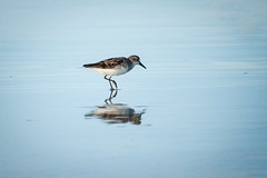 The Sandpiper (ranzino) Tags: jerseyshore newjersey stoneharbor vacaction animal beach bird nj ocean reflection sandpiper sandpipers unitedstates us