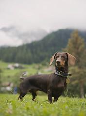 Mirtilla Trentino (simo.shoes) Tags: trentino alto adige sudtirol nature photo dog portrait panorama