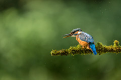 Felmale Kingfisher (Alcedo atthis) (Steven Whitehead) Tags: kingfisher wildlife wild canon canon5dmk3 500mm 500mmf4 500mmf4is canon500mm fishing 2016 water river stream fish feeding feathers summerwatch