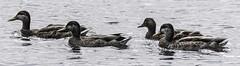 Ducks - Moore Nature Reserve (joanjbberry) Tags: moorenaturereserve moore warrington birds wildlife water