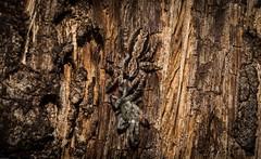 Cs takes lamponid? (dustaway) Tags: spiderwithprey arthropoda arachnida araneae araneomorphae salticidae clynotisseverus jumpingspiders lamponidae tallowwood bark barkjumpingspider tullerapark tullera northernrivers nsw nature australia