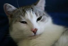 Pretty Cat via http://ift.tt/29KELz0 (dozhub) Tags: cat kitty kitten cute funny aww adorable cats