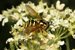 Syrphidae sp (Hoverfly) - Guernsey (Nick Dean1) Tags: syrphidae syrphinae syrphini animalia hoverfly diptera fly arthropoda arthropod hexapoda hexapod guernsey channelislands lihou canon7d canon macro