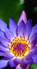 Lotus Flower (kieronjameslong) Tags: flora macro lotus lotusflower waterlily flower blueflower purpleflower summer bloom blooming