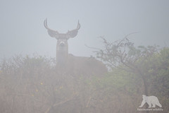 Mule Deer Buck in fog (fascinationwildlife) Tags: animal mammal wild wildlife nature natur point reyes california usa america summer tomales fog nebel mule deer buck stag male maultierhirsch hirsch