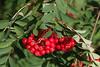Pihlakad (Jaan Keinaste) Tags: pentax k3 pentaxk3 eesti estonia loodus nature pihlakas sorbus punane red sügis autumn