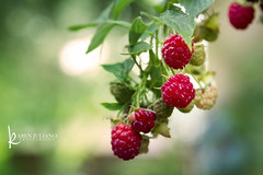 6583 raspberries (Karen Juliano) Tags: fruit plant bokeh depthoffield raspberry garden red green food