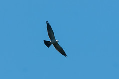 8-Year Quest Complete (martytdx) Tags: august birding birds birdofprey raptor kite mississippikite ictiniamississippiensis ictinia accipitridae waretown nj lifelist