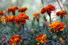 tagetes (kinaaction) Tags: tagetes flowers nature flora sonyilce6000 aksamitki