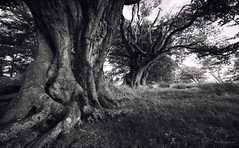 Wellhope III (-- Q --) Tags: northumberland niksoftware alnwick rothbury tree gnarly atmosphere edlingham qthompson