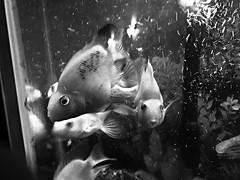 Fish tank (nikitalesnik) Tags: bubbles iphone6 phone iphone grayscale blackandwhite white black water fishtank fish koi goldfish