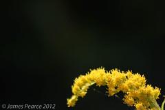 Yellow Flowers (James E Pearce) Tags: black flower macro green yellow photography james photographer darkness tubes jim extension pearce stalk photog jamespearce jamesepearce pearcejamesee pearcejames pearcejamese