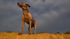 OH yeeAH  (m+m+t) Tags: sunset newzealand joy weimaraner wellington tosh subdivision mmt highqualitydogs highqualityanimals