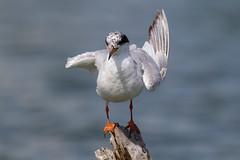 Wing Flip (gseloff) Tags: nature birds texas wildlife birding pasadena forsterstern armandbayou kayakphotography gseloff