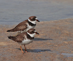 Draw to a Pair (Larry Frogge Photography) Tags: bird nature florida pair shore plover migrant shorebird semipalmated