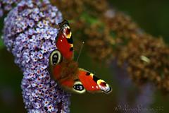 Its arrived (Al JC) Tags: nature butterfly scotland fife cowdenbeath