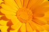 Marigold (gripspix (OFF)) Tags: natur calendulaofficinalis ringelblume heilpflanze englishmarigold medicalplant 20120910