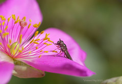 Touch (yvonnepay615) Tags: pink flower nature insect lumix panasonic g1 mygarden 45mm hoverfly cisanthe