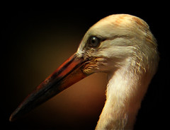 DSCN4811 the sad stork (pinktigger) Tags: portrait italy bird nature closeup italia stork nationalgeographic friuli fagagna oasiquadris feagne