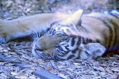 Amur Tiger cub (K Fletcher) Tags: calgary zoo cub tiger alberta siberian amur