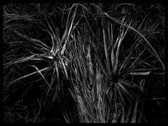 dark palms (LauraSorrells) Tags: blackandwhite favorite abstract dark palm jekyllisland linear 2007
